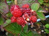Brombeere Strauch Dorman Red aromatisch-leicht säuerlich 60-100 cm rotes Beerenobst Gartenpflanze 1 Pflanze