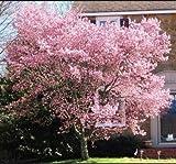 Risitar Graines - Corée Forsythias blanc + rose, Arbres et arbustes Grainé fleur jardin Plantes vivaces résistante au froid en pot sur le balcon, la terrasse