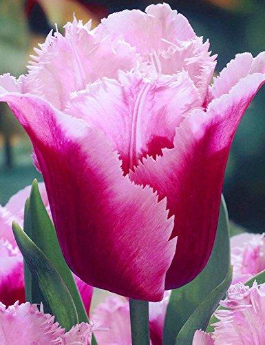 Keland Garten - 100 stück Tulpenzwiebeln Blumenzwiebel Tulpen Ice Cream Mischung samen winterhart mehrjährig mehrfarbig