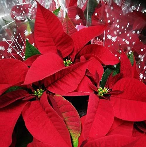 stella di natale rossa vera pianta natalizia (euphorbia pulcherrima) [vaso Ø8/10cm]