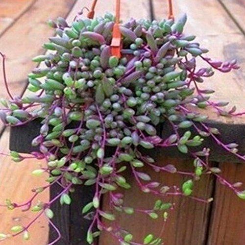 Doubleer Fleurs Succulentes Graines Maison et Jardin Décoration Bonsaï Plantes Radiation Preuve Graines Plantes Graines 100 PCS