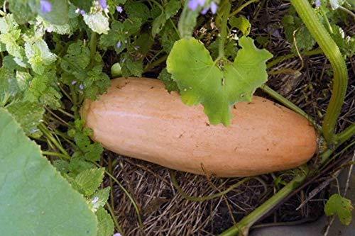 Shoopy Star Samen Gurke Bush Gherkin Abbeizen Gemüse Bio-Heirloom Russian Ukraine