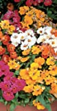 JustSeed Blume Elfenspiegel Sonnenflecken gemischt 500 Saatgut Masse Pack