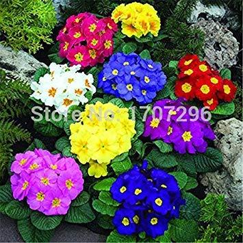 Fash Lady Saisonblumen eingemachte Blumensamen Primula 50 Stücke/Los