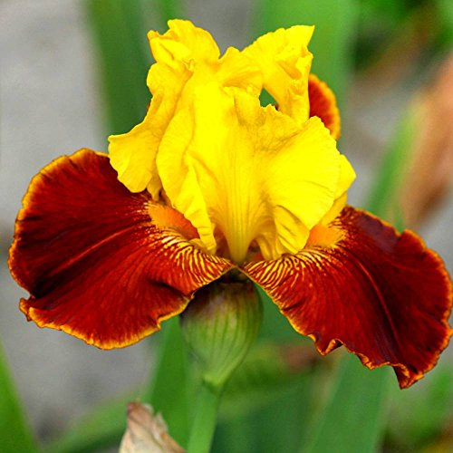 Pflanzen Iris (Schwertlilie All That Jazz - 2 pflanzen)