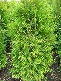 Brabant Lebensbaum Thuja occidentalis Brabant 125-150 cm hoch im 10 Liter Pflanzcontainer