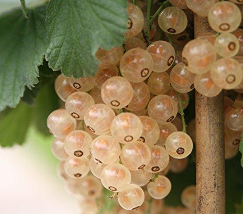 """Dehner Johannisbeere""""Weiße Versailler"""", Fußstamm mit weißen Beeren, ca. 80-100 cm, Beerenobst"""