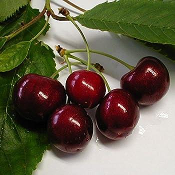 Regina Kirsche, Kirschbaum Zwergkirsche Busch, Prunus avium, Obstbaum winterhart, Kirsche rot, im Kübel, 120 - 150 cm
