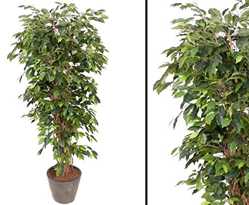 Ficus Benjamini Multistamm, Höhe 150cm - Kunstbäume Kunstbaum künstliche Bäume Kunstpflanzen Kunstpalmen Dekopalmen