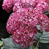 Schneeball-Hortensie`Ruby Anabelle®´