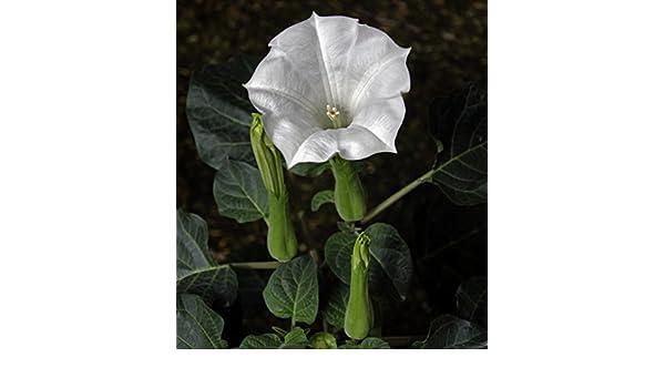 Datura metel 25 Samen Indischer Stechapfel