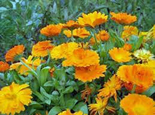 Shoppy Star Shoppy étoiles: Calendula 100+ Graines bio fraîchement moissonné, belles fleurs d'or vives