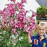 vegherb Blanc: Vente Hot 200Pcs Lily Graines Lily Fleur (Non Lily bulbes) Lilium Graines de Fleurs Faint Parfum Bonsai Plante en Pot pour Jardin Plantes Blanc...
