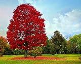 PLAT FIRM KEIM SEEDS: Japanische Rote Ahorn/Japanischer Ahorn - 20 Samen - Baum & Bonsai geeignet