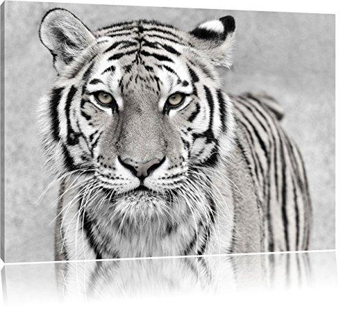 Starren Tiger (Anmutiger Tiger in Schwarz/Weiß, Format: 100x70 auf Leinwand, XXL riesige Bilder fertig gerahmt mit Keilrahmen, Kunstdruck auf Wandbild mit Rahmen, günstiger als Gemälde oder Ölbild, kein Poster oder Plakat)