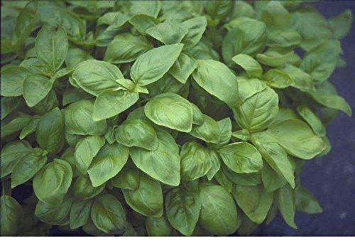 JustSeed - Kraut - Sweet Genovese - Basilikum (Ocimum Basilicum) - 6000 Samen -