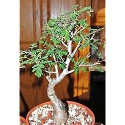 RARE Pachycormus verfärben, Elefantenbaum Caudiciform Caudex Bonsai Samen 5 Samen