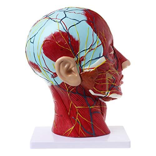 Jiay - Cuerpo anatómico Humano, para Rostro anatomía, Cerebro Mediano, sección de Estudio, Modelo Nerf Jaula Sanguin para la educación