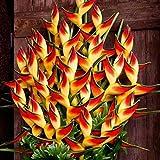 Beautytalk-Garten Raritäten Sperlings Blumen Mucuna Birdwoodiana Blumensamen mehrjährig Blumen Saatgut winterhart Selten Garten Pflanzen Saatgut