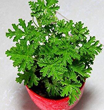 Vista Semi di erba dolce Mozzie Buster, impianto di repellente per zanzare 1 confezione - 500 semi/lotto