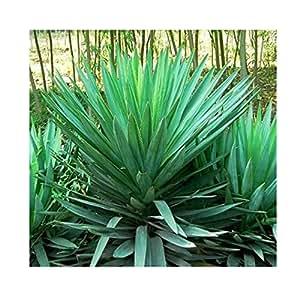 50 Semi / pack, Yucca semi, piante in vaso di DIY, Indoor / Outdoor Pot germinazione dei semi tasso del 95% i colori misti