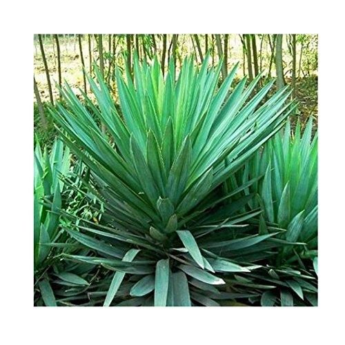 Yucca achat vente de yucca pas cher for Yucca exterieur