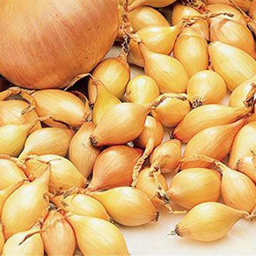 tomasa seedhouse- 100 pz semi di cipolla enorme, 12 tipi cipolle organiche perenne semi di verdure cipolla sementi tappeto ortaggi giardino delle sementi