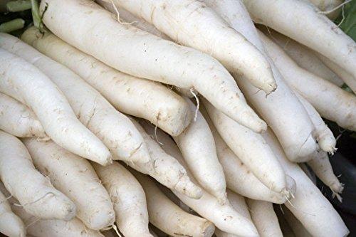 radis, MINOWASE JAPONAIS blanc, GIANT 2 pieds de long! daikan Groc 160 graines