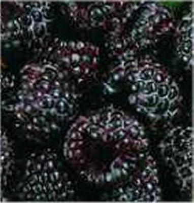 Himbeere Black Jewel - Rubus idaeus von Baumschule - Du und dein Garten
