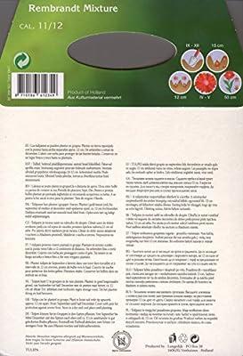 Großpackung mit 20 Rembrandt-Tulpen Farbmischung, Zwiebelgröße 11/12 von Amazon.de Pflanzenservice bei Du und dein Garten