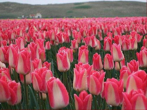 Toutes sortes de bulbes de tulipes belles fleurs de jardin sont appropriés pour les plantes en pot (il n'est pas une graine de tulipe) bulbes 2PC 22