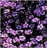 Fiore - Saponaria ocymoides - Saponaria - Perenne - 2000 Seme - Confezione Grande