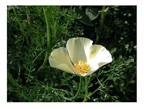 Premier Seeds Direct HC-B4F6-DA7J Semi di papavero californiano - Bianco (confezione da 1000)