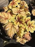 Silberblatt-Glöckchen Gold Zebra Bodendecker weiß blühend Beetstaude Halbschatten-Schatten Heucherella x tiarelloides im 3 Liter Topf 1 Pflanze