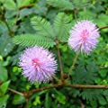 Rosepoem Empfindliche Pflanzensamen Mimose Pudica Moving Plant Schüchterne Pflanze Schamhafte Pflanze Touch-me-not Pflanzensamen von Rosepoem bei Du und dein Garten