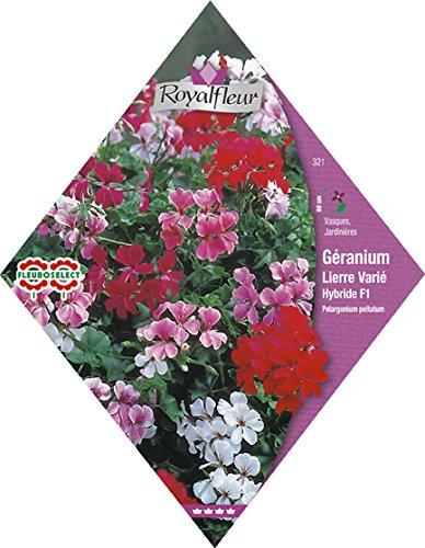 royalfleur-pfrv00321-graines-de-geranium-lierre-varie-hybride-f1