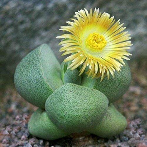 bazaar-20pcs-pleiospilos-el-nelii-siembra-el-jardin-plantas-suculentas-potting