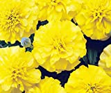 Bobby-Seeds Tagetessamen Bonanza Yellow, Studentenblume Portion