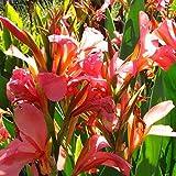Eden-blumen 100 Stück Canna Liberte Indisches Blumenrohr 'Canna Indica' Exotische Blumensamen Winterharte Staude für Gartenbalkon/Terrasse