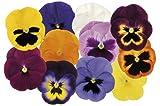 Amazon - Fiore - Viola del Pensiero - Matrice Primavera Selection Mix F1 - 75 Semi - Confezione Grande