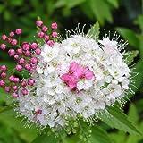 Spiraea japonica var.shirobiana - Maceta de 5Litros
