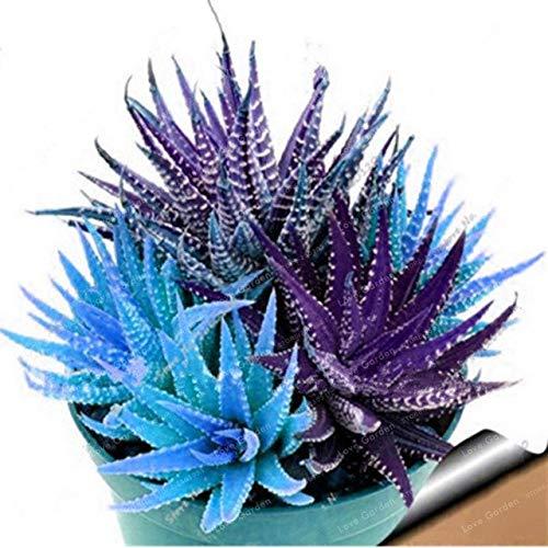 Bloom Green Co. Nouveau! 100 Pcs coloré Cactus Rebutia Variété Mix Exotique Floraison Cacti Rare Cactus Aloe Bureau Bonsai Plant Mini: 4 Succulent