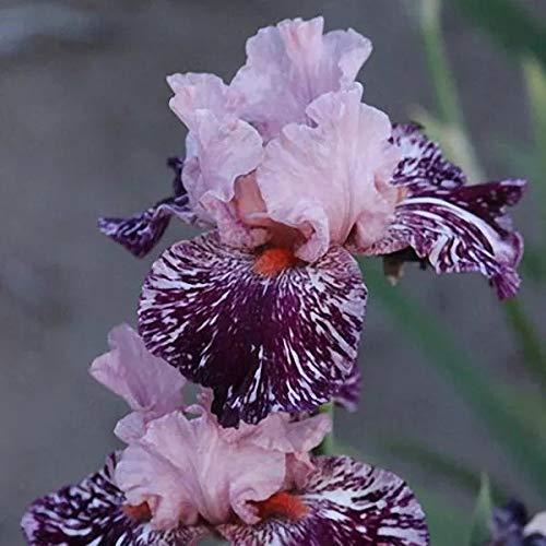 ELLEA Gartensamen- 100PCS Schwertlilien Iris Samen Iris Ensata exotische Blumensamen Blume Pflanzen winterhart mehrjährig für kleine Gärten (2)
