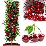 obiqngwi 50Pcs Semi di ciliegio Delizioso albero da frutto biologico Casa pianta bonsai giardino di casa pianta bonsai - Semi di ciliegio