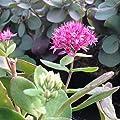 lichtnelke - Pracht-Fetthenne (Sedum telephium ) Mr. Goodbud von Lichtnelke Pflanzenversand - Du und dein Garten