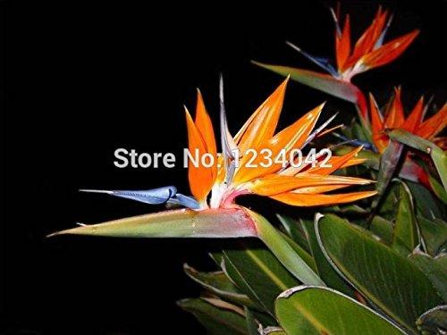 100 PC exotique mini-intérieur en pot de fleurs colorées de graines Strelitzia, plantes bonsaï graines d'orchidées oiseaux