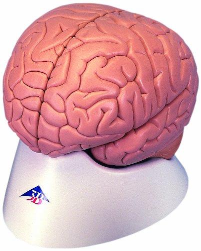 3B Scientific C15/1 Modelo de anatomía humana Encéfalo Económico, desmontable En 2 Piezas