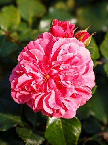 Rose Pink Swany Wurzelware Qualität A - floranza®
