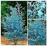 Vistaric 50 Eukalyptus-Samen - Eukalyptus gunnii Große Blüten in prächtiger Farbkombination Kostenloser Versand