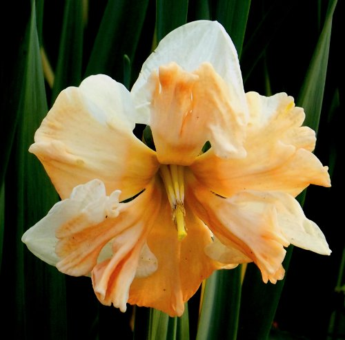 """Narcissus – Narzisse"""" APRICOT WHIRL"""" (5)"""